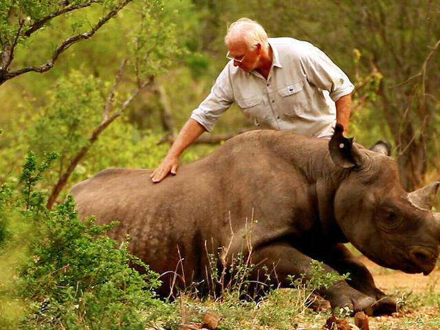 Tranquillised black rhino wakes up in new home, Eastern Cape province, South Africa
