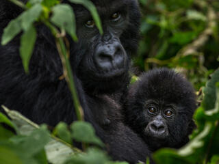 Mother and baby mountain gorilla
