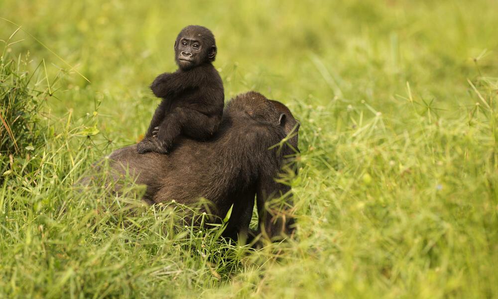 Gorilla twins Inganda her mother