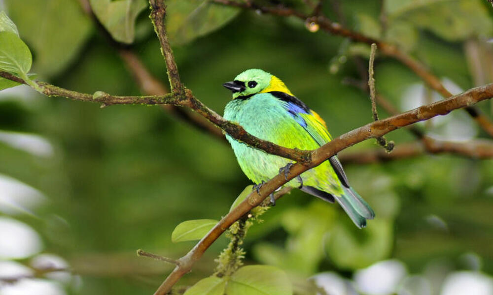 Green-headed tanager in a tree