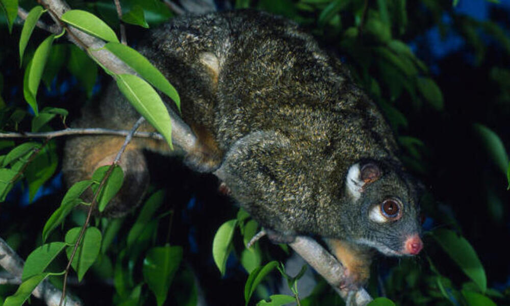 Green ringtail possum