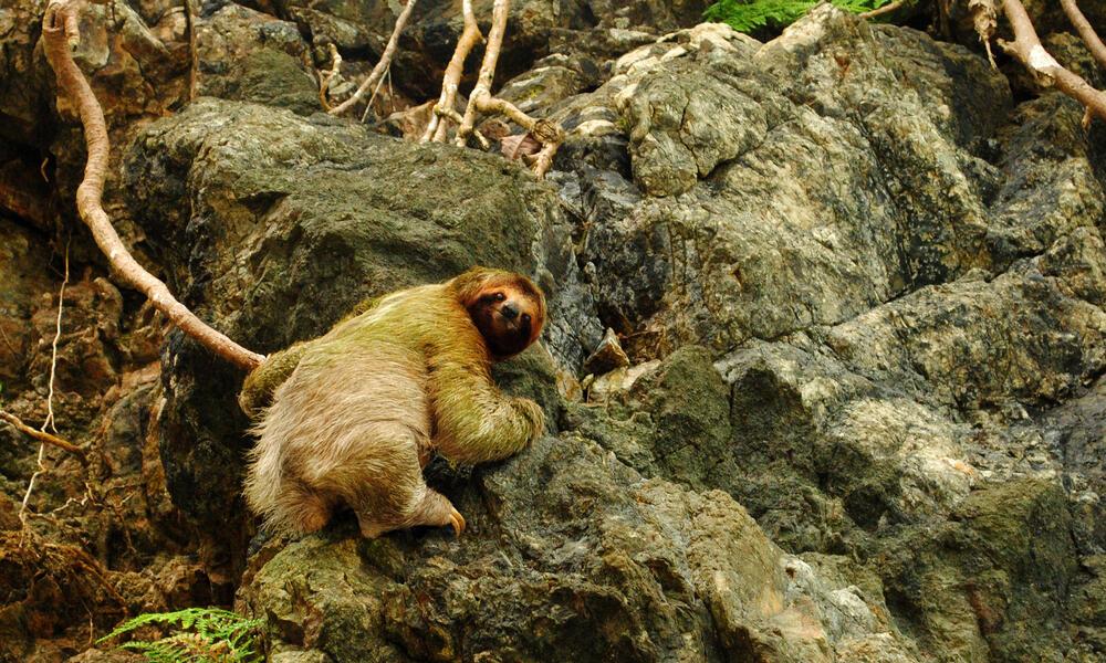 Green-tinged sloth