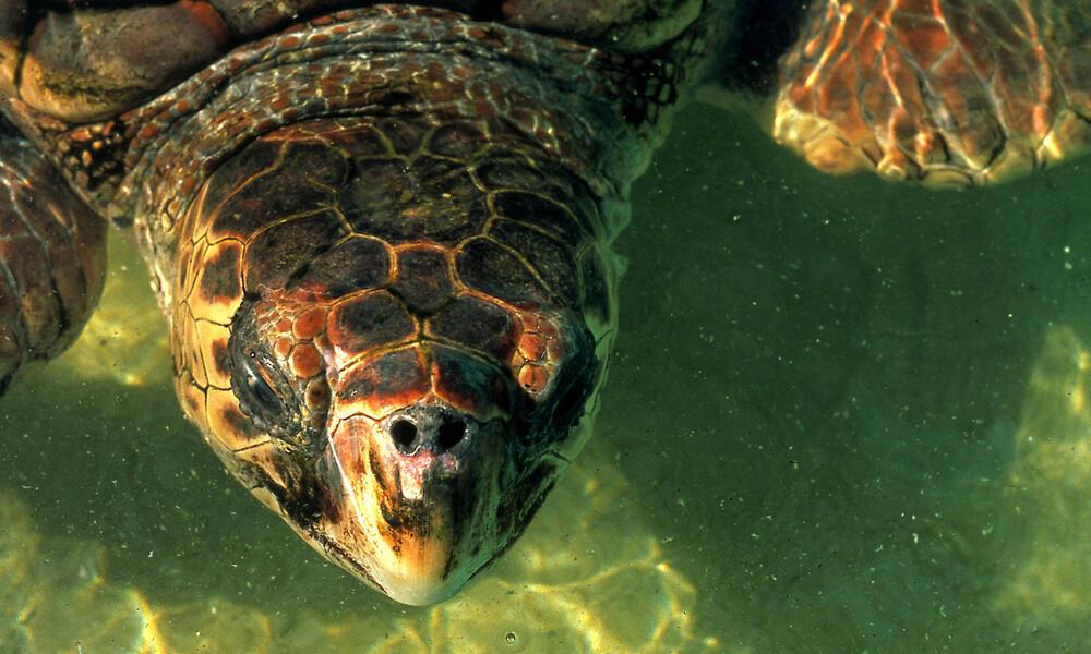 Head of Loggerhead turtle