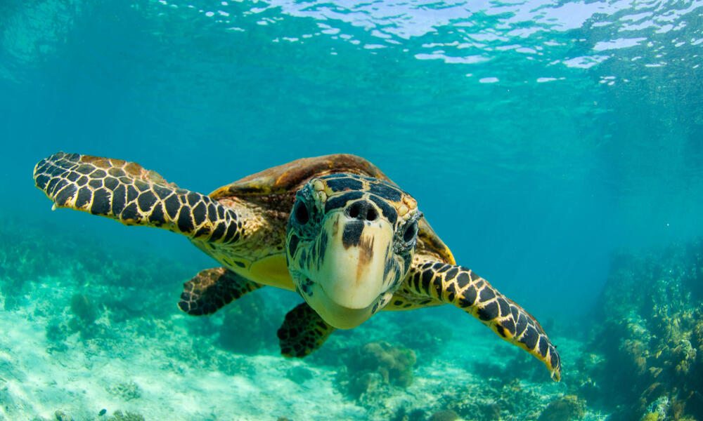 Hawksbill turtle swimming underwater in North Madagascar.