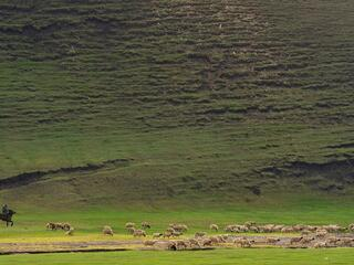 A man on horseback herding sheep on green grass against a large mountainside