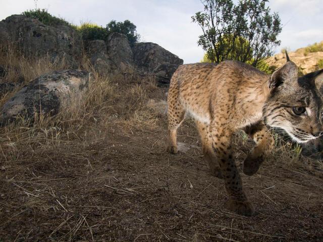 A male Iberian Lynx walking.