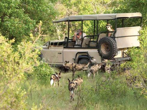 Traveler taking photo of wild dogs from Jeep