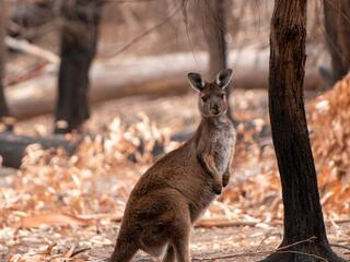 Portrait of a large kangaroo standing in the woods looking at the camera