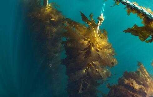 Underwater view of kelp growing in rows along a rope