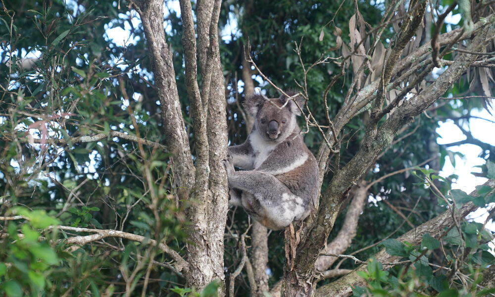 A koala perched in a treetop looks at the camera
