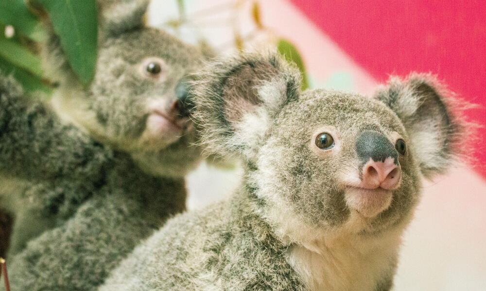 close up portrait of two koalas