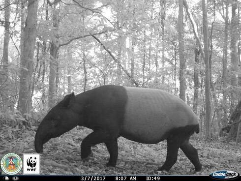 Tapir (Tapirus indicus) captured on a camera trap in Kui Buri, Thailand
