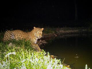 Leopard captured by camera trap in Nepal's Khata Corridor
