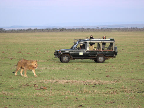 A lion walks while people in a safari vehicle take pictures
