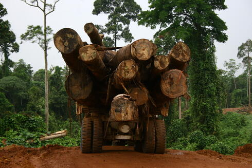 A truck driving into the forests of Borneo carries huge cut down tree trunks in its bed