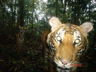 Camera trap image of a Malayan tiger.