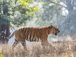 Male tiger walks through grasses of Kanha National Park, India