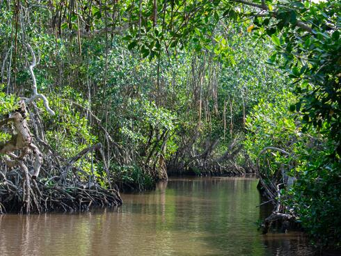 A lush mangrove forest with a river winding through