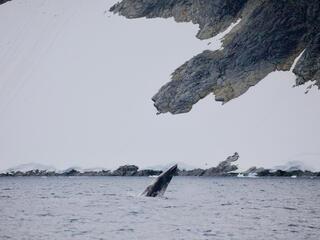 minke whale Antarctic
