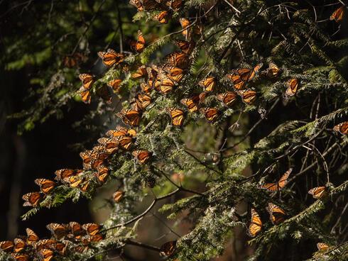 monarch butterflies WW229877