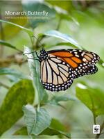 Monarch Butterfly: WWF Wildlife and Climate Change Series Brochure