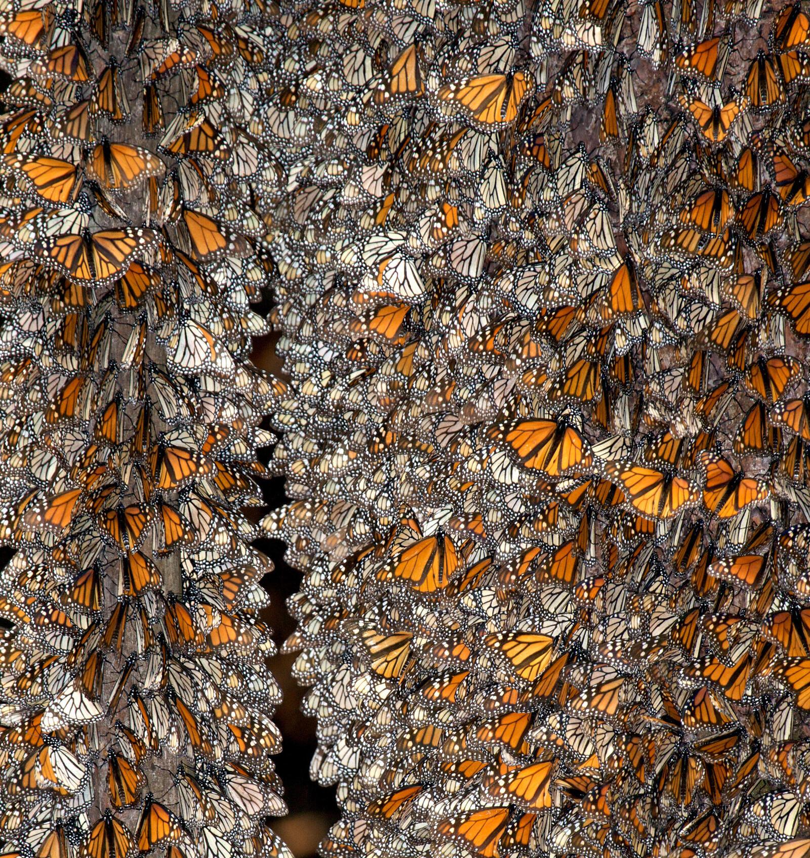 monarch cluster winter2017