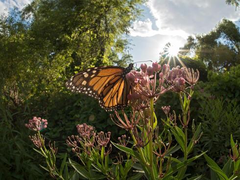 monarch on flower WW225154