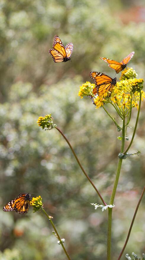 monarch yellowflower winter2017