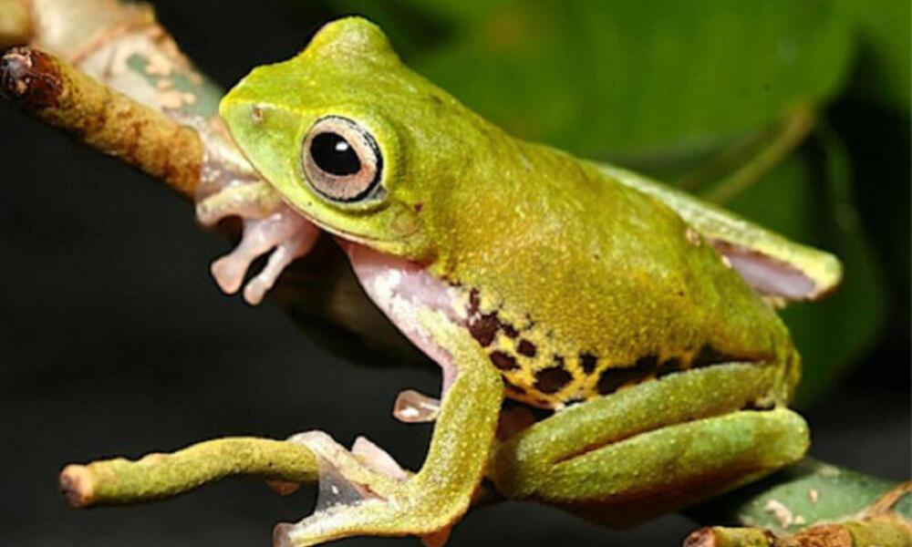 Mulu frog at night