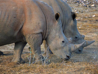 Rhinos in Namibia