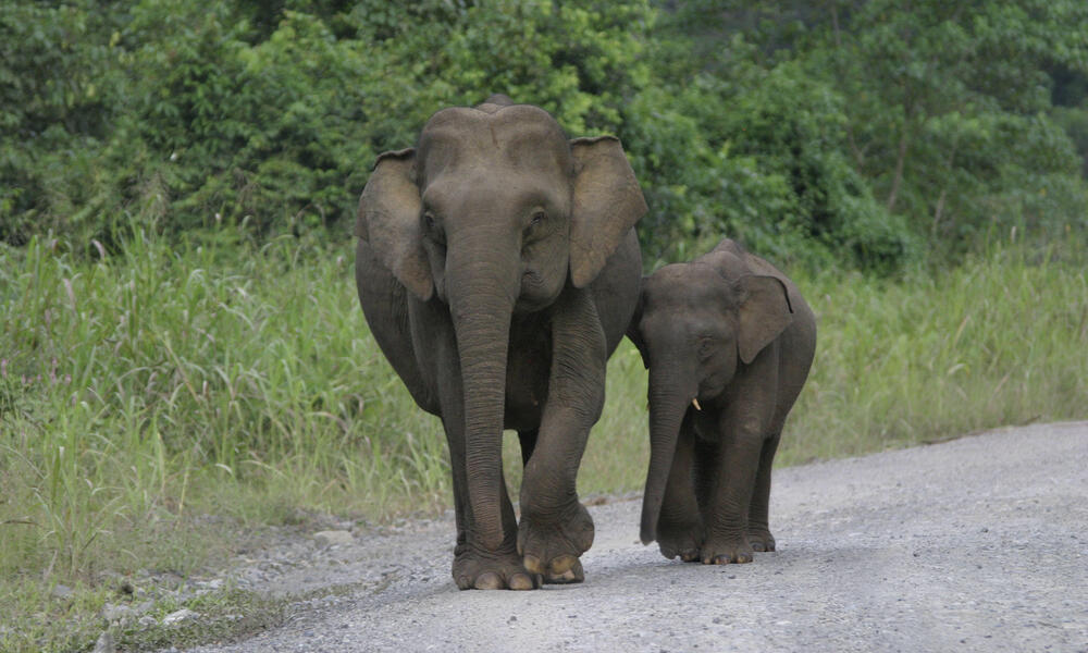 Two Bornean elephants, one adult and calf, walk together down a gravel road.