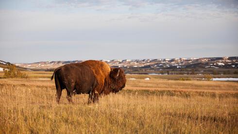 ngp bison WW143616 Day's Edge