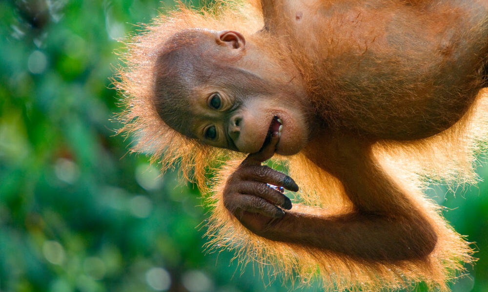 orangutan baby Edwin Giesbers WW22542