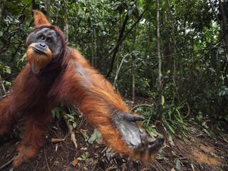Orangutan swings from a vine and holds out palm
