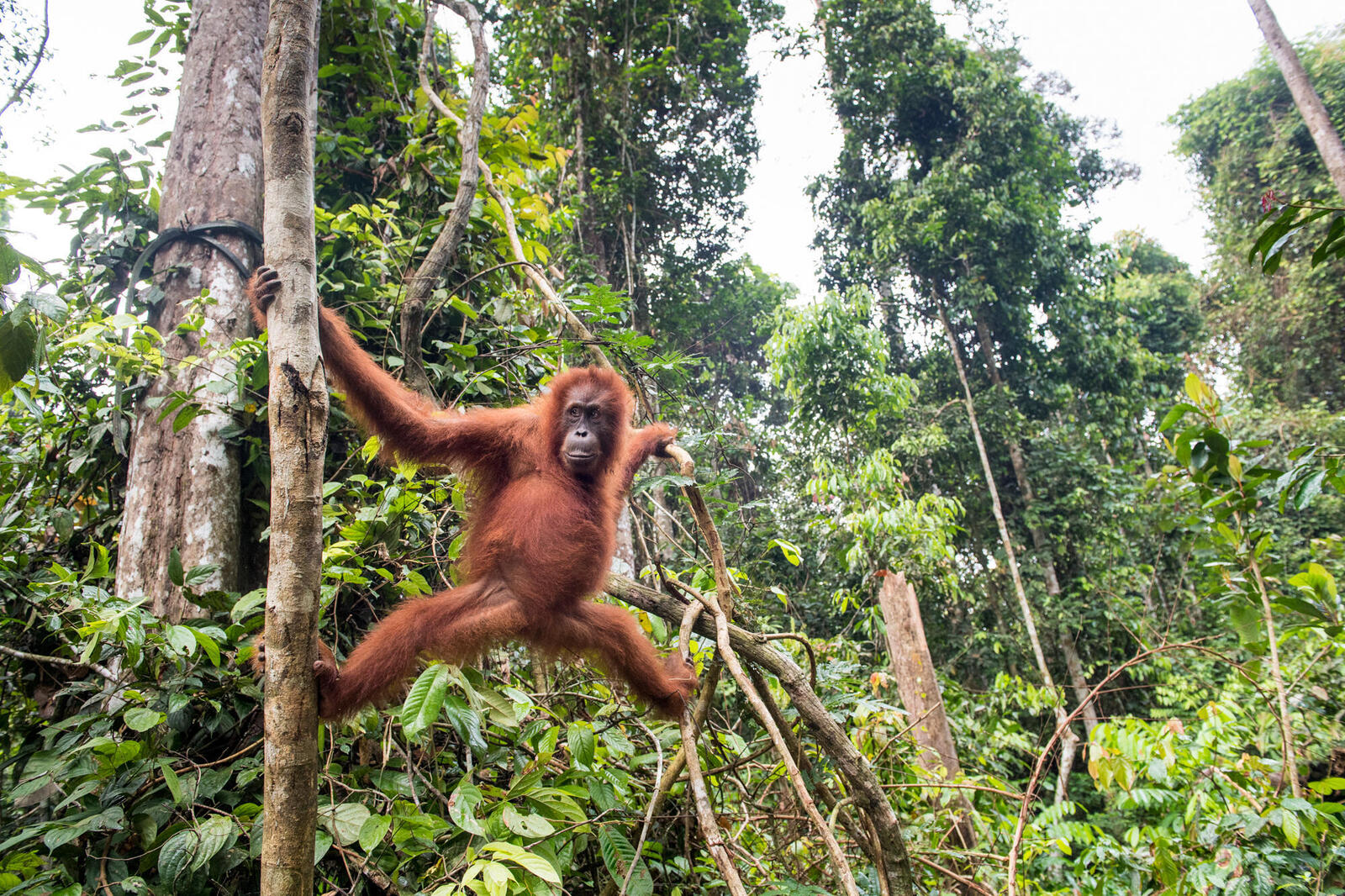 orangutan spring2018