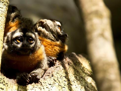 owl monkey peru WW146579 J