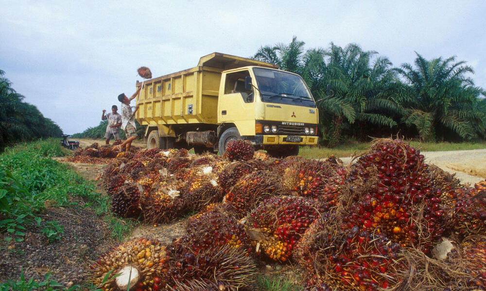 truck carrying away palm oil plant in tesso nilo forest
