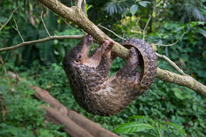 A pangolin hanging upside down from a tree branch in the forest
