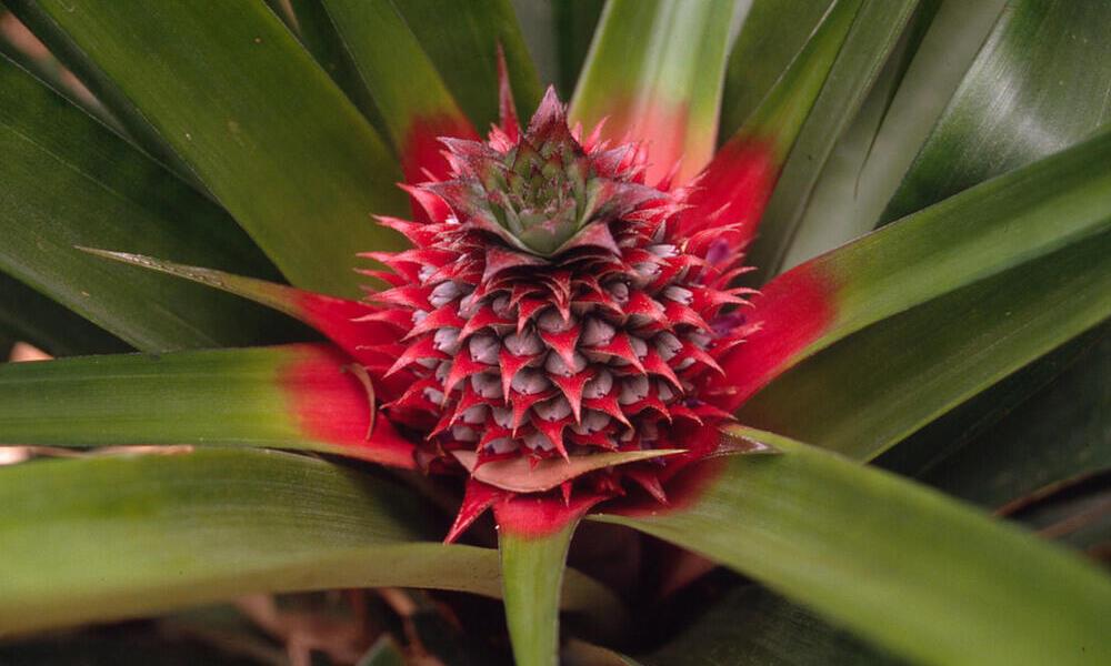 pineapple flower Rob Webster WW210433