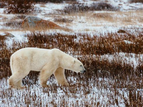 A polar bear in Churchill