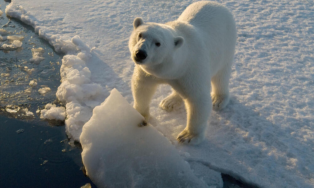 Polar bear standing on the edge of ice and looking up