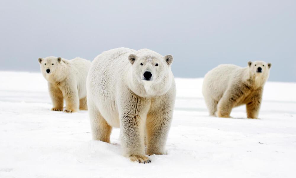 Polar bear with two cubs