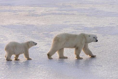 Female polar bear and cub, Churchill, Canada