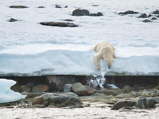 Plolar bear (Ursus maritimus), Svalbard