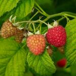 Red raspberries at different stages of maturation.
