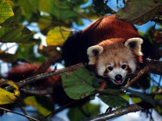 red panda in tree, Sikkim, India