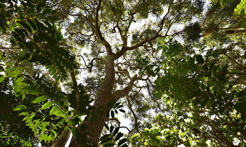 A view from inside the Atlantic Forest looking up towards sky.