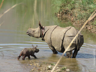 rhino calf with mother