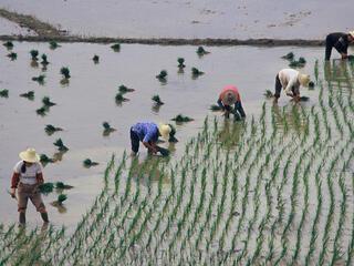 Rice farming in China