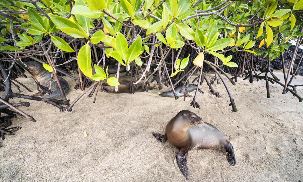sea lion mangrove WW288523 Antonio Busiello